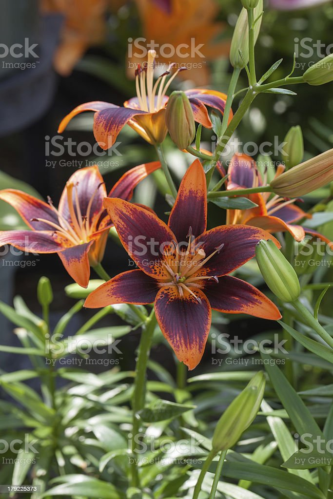 Orange and Burgandy Asiatic Lily in Garden stock photo