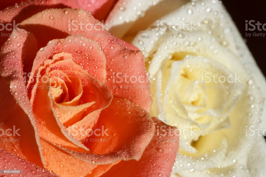 orange and cream roses with water drops on the petals stock photo