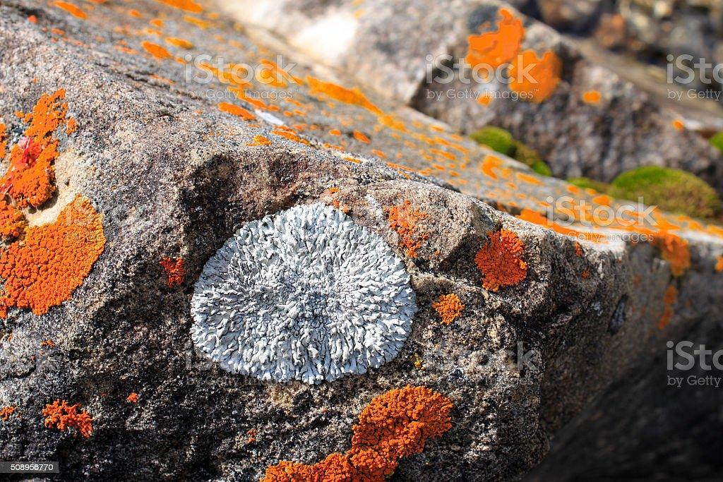 Orange and Gray Lichen stock photo