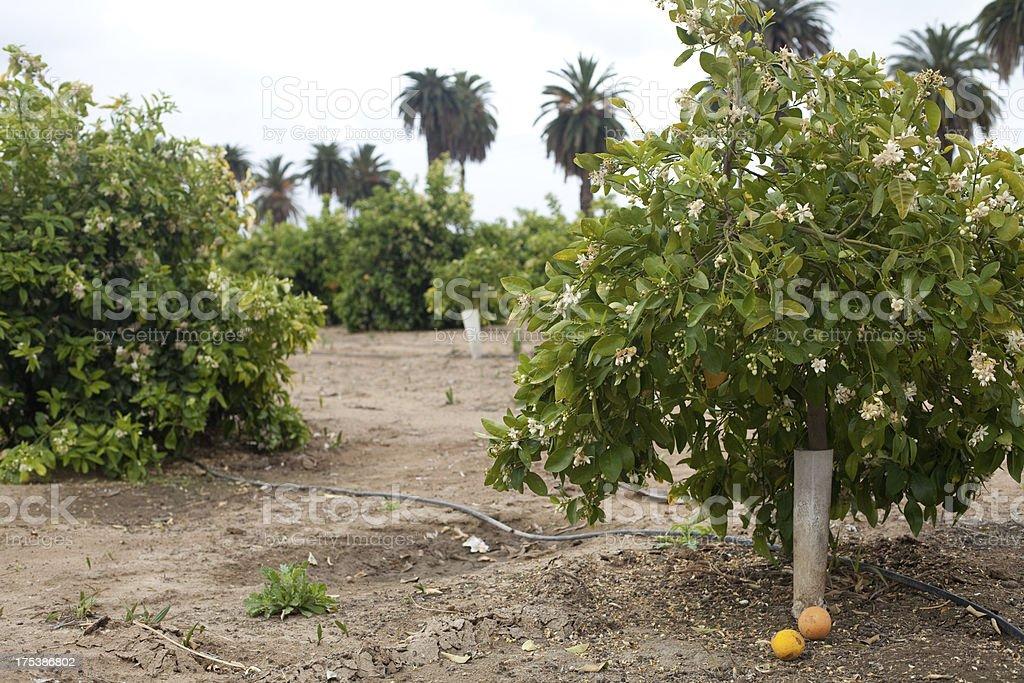 Orange and Palm Trees stock photo
