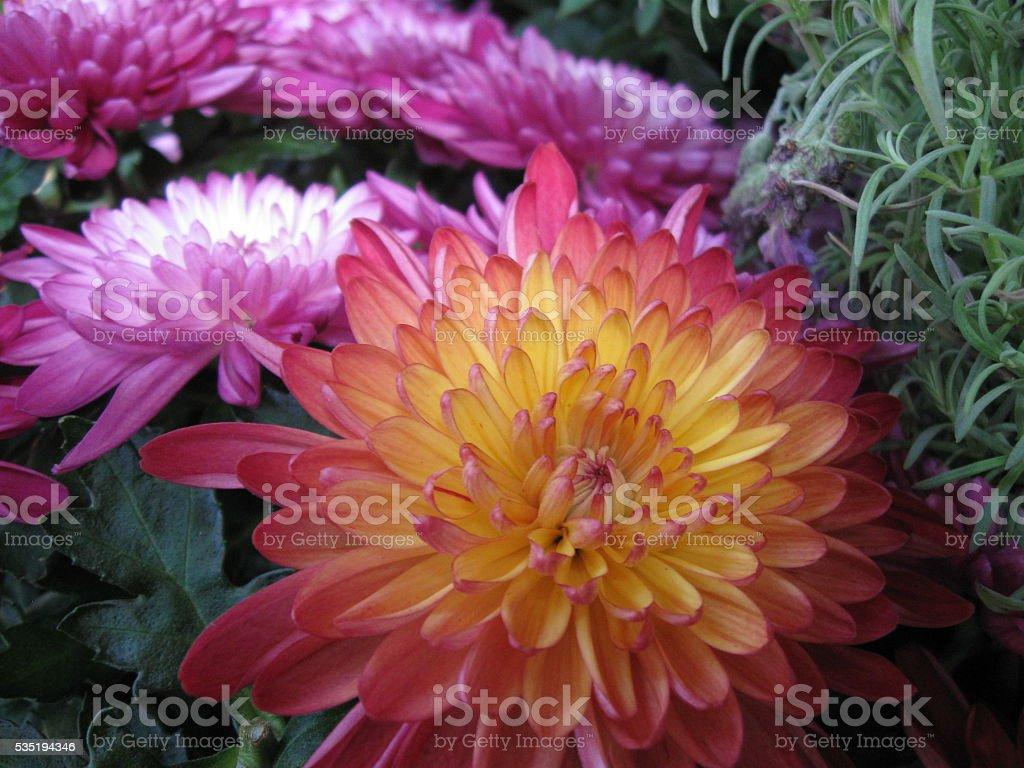 Orange and Pink Chrysanthemum stock photo