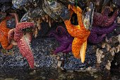 Orange and purple starfish hanging from giant mussels