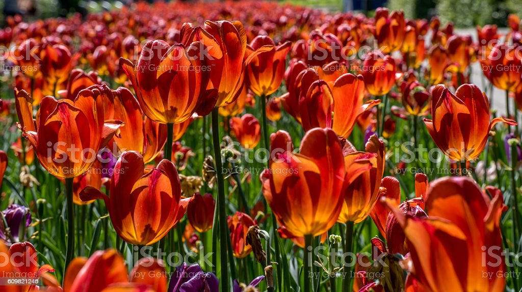 Orange and Red and Purple Tulips in the Sun stock photo