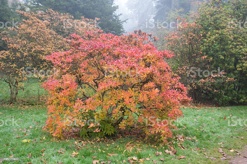 Orange and red Azelea in autumn colours stock photo