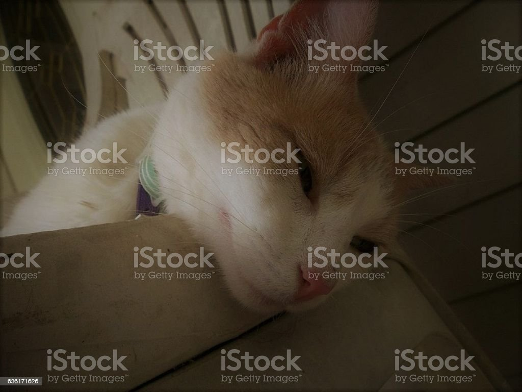 Orange and White Cat stock photo