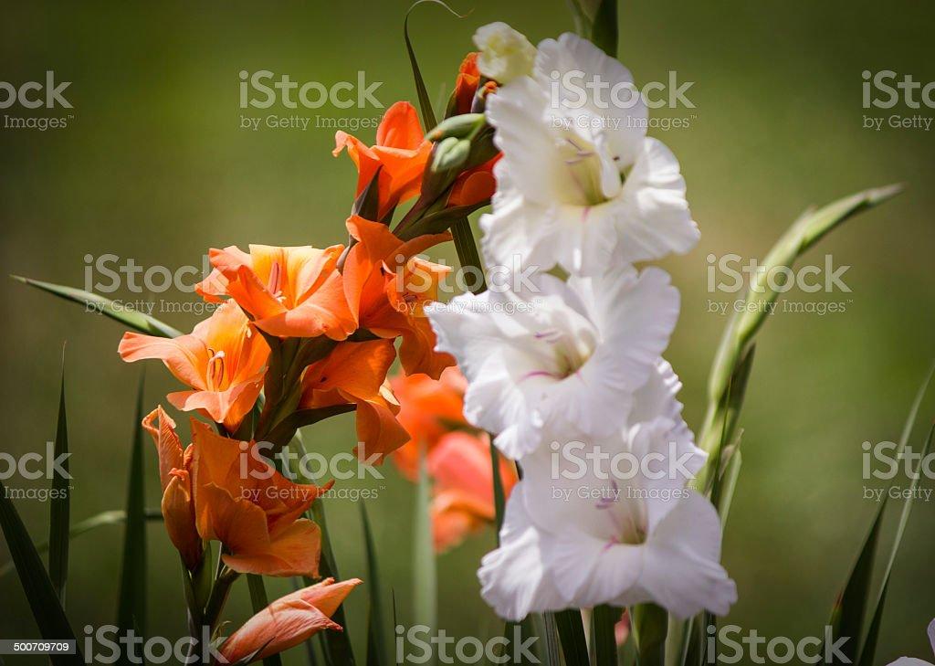 CU Orange and White Gladiolas royalty-free stock photo
