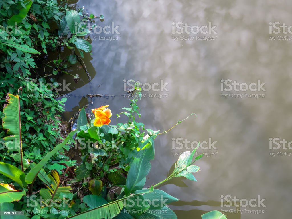 Orange and yellow color canna lily flower on river bank with green plant and cloud reflection stock photo