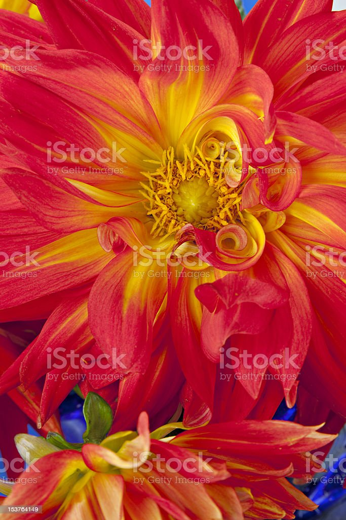 Orange and yellow Dahlias royalty-free stock photo