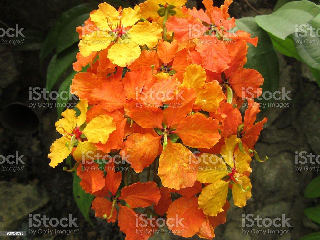 Orange and Yellow Hibiscus Flower Cluster stock photo