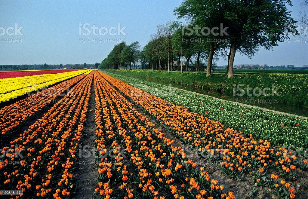 Orange and Yellow Tulip Fields royalty-free stock photo