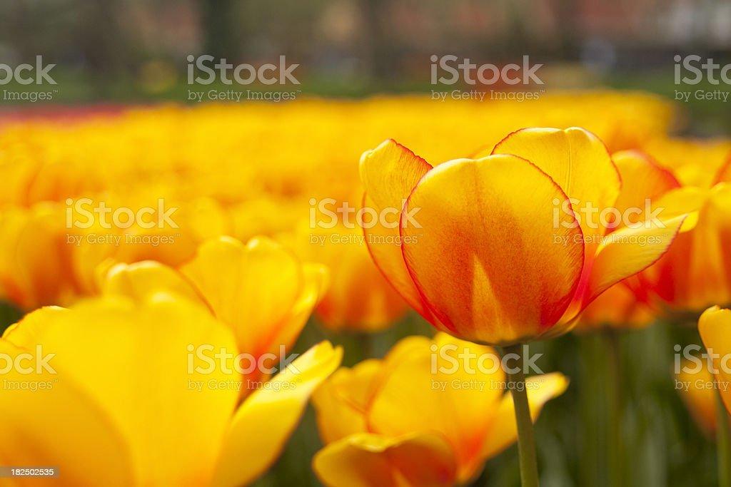Orange and yellow tulip, selective focus stock photo