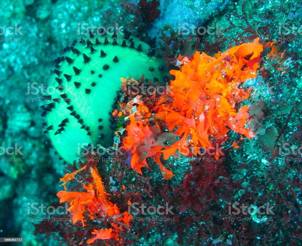 Orange anemone and chocolate chip sea star stock photo