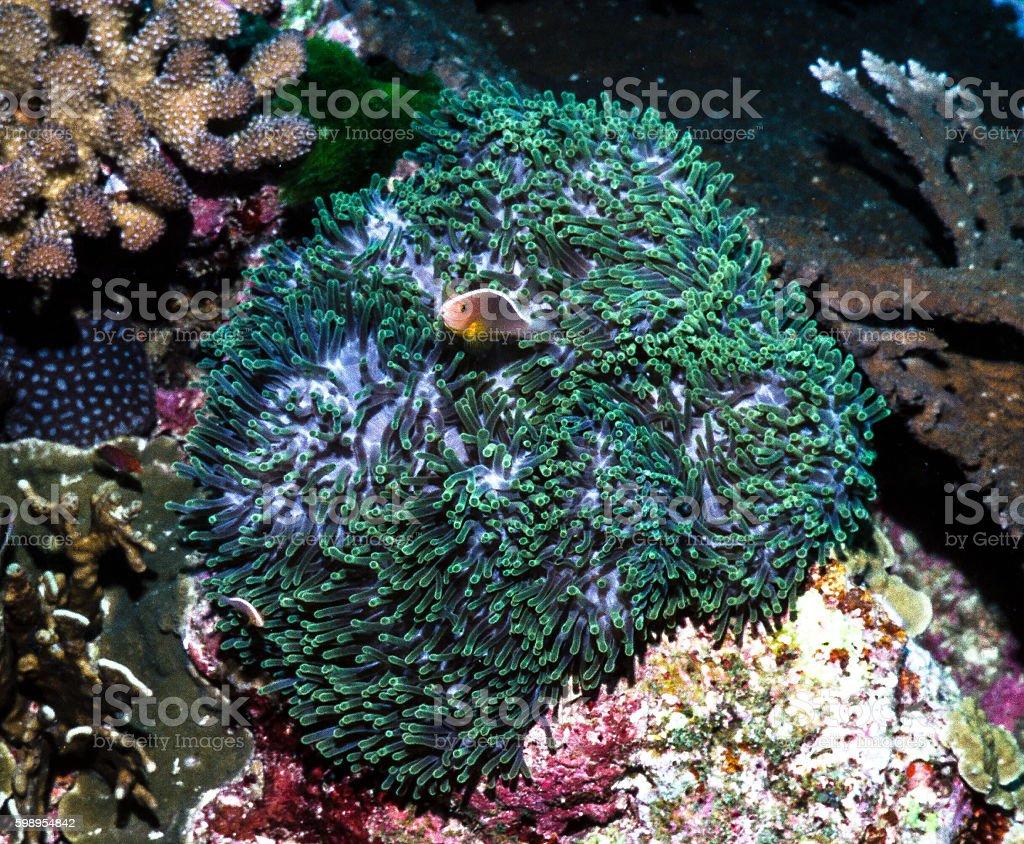 Orange Anemonefish - Thailand (Looking up) royalty-free stock photo