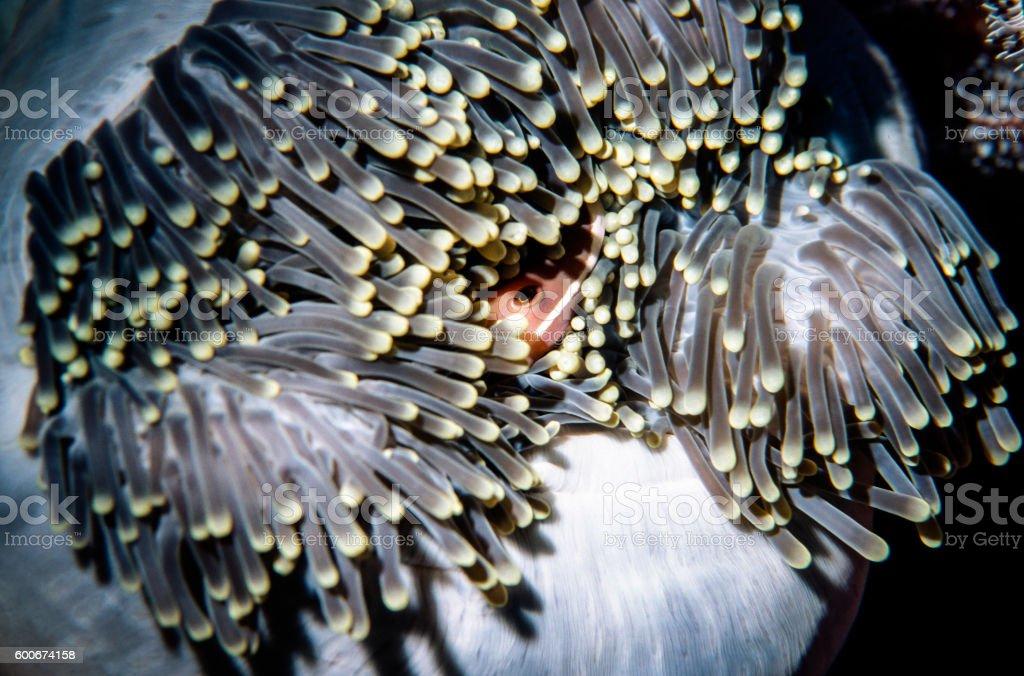 Orange Anemonefish - Thailand (Good morning) royalty-free stock photo