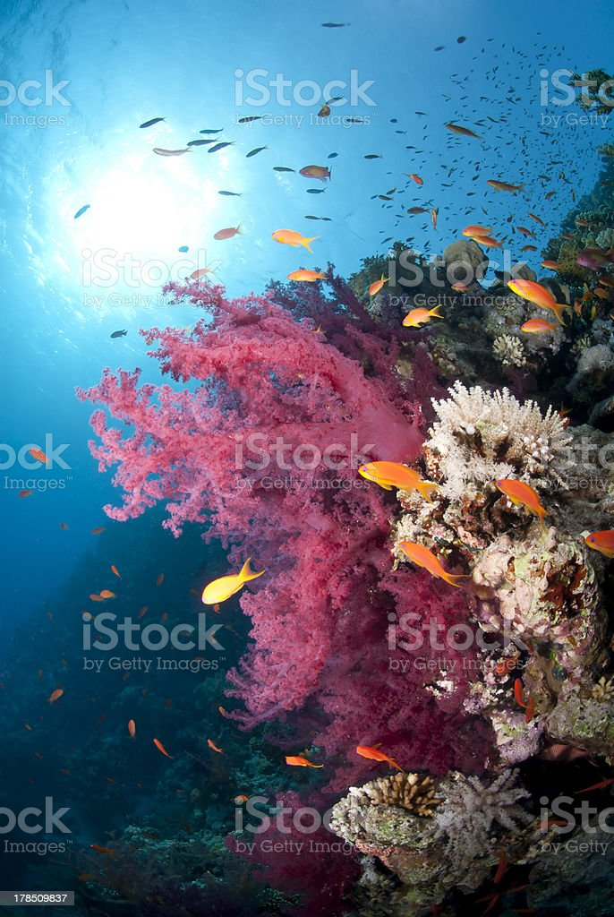 Orange Anthias and vibrant pink soft coral (Dendronephthya hempr stock photo