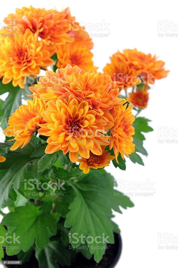 orange aster flowerpot on white isolated background stock photo