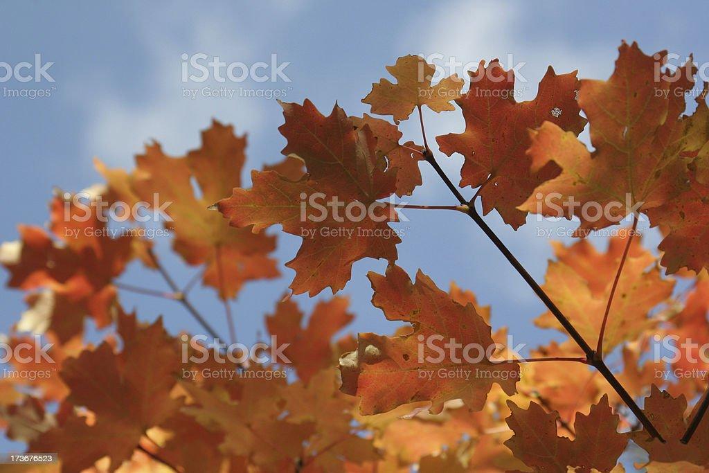 Orange Autumn Leaves in Utah royalty-free stock photo