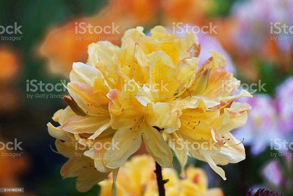 Orange azalea stock photo