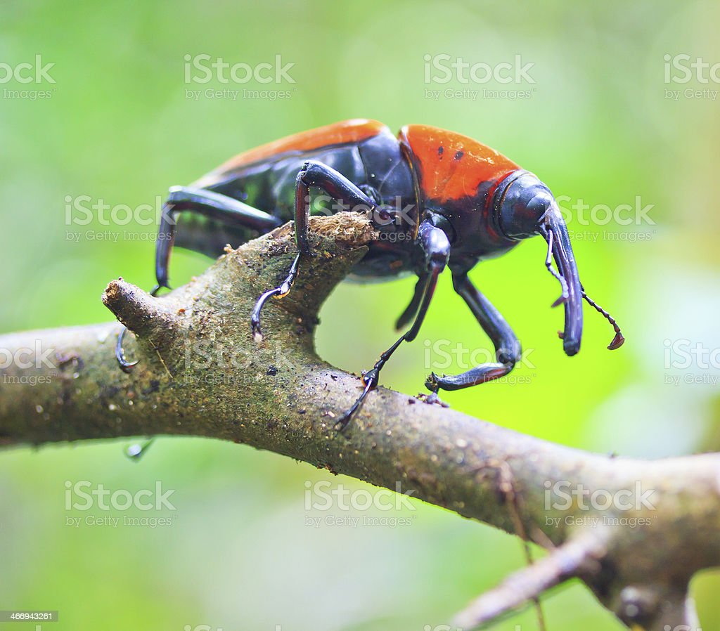 Orange beetle insects In tropical forests thailand royalty-free stock photo