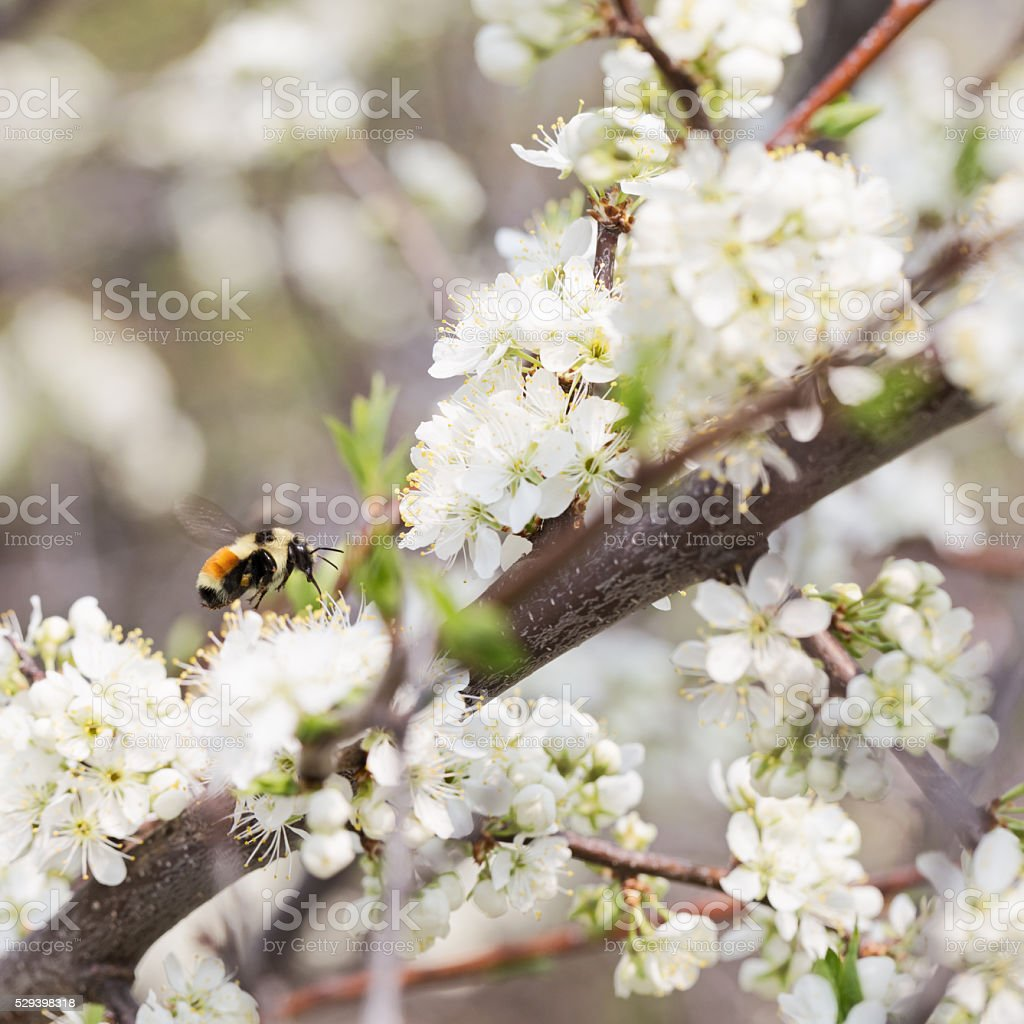 Orange Belted Bumble Bee on White Apple Blossoms stock photo