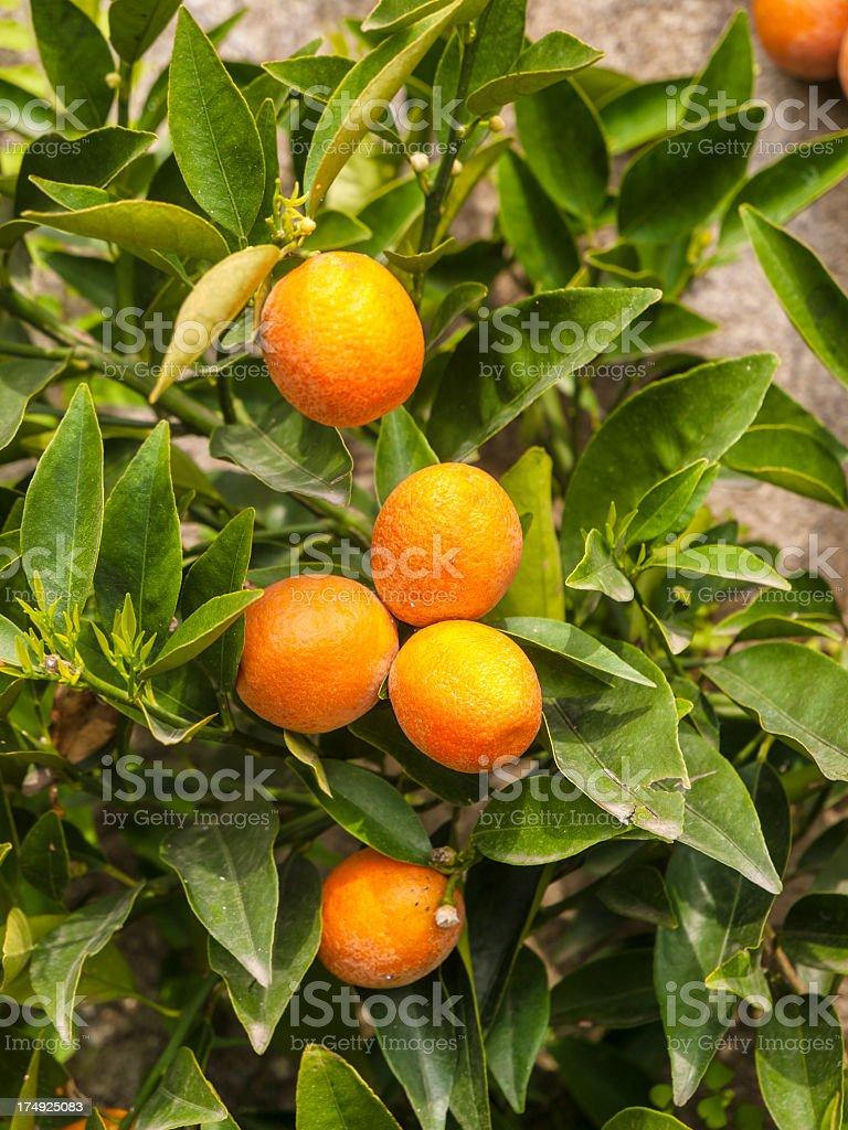 Orange bergamot fruit hanging on a leafy tree stock photo