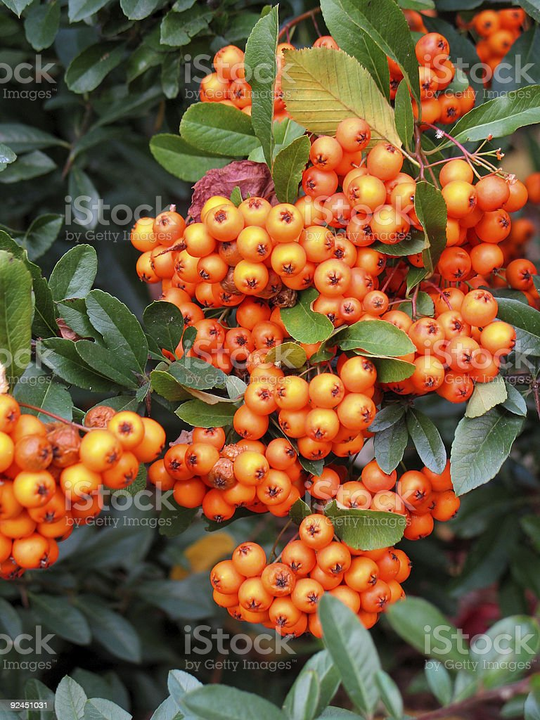 Orange berries stock photo