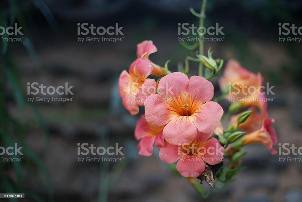 Orange big flower, Campsis grandiflora taken against traditional wall stock photo