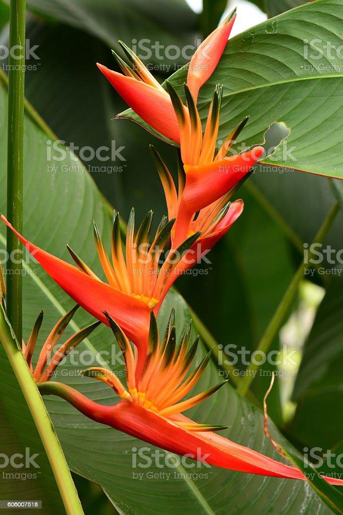 Orange bird of  paradise flower. stock photo