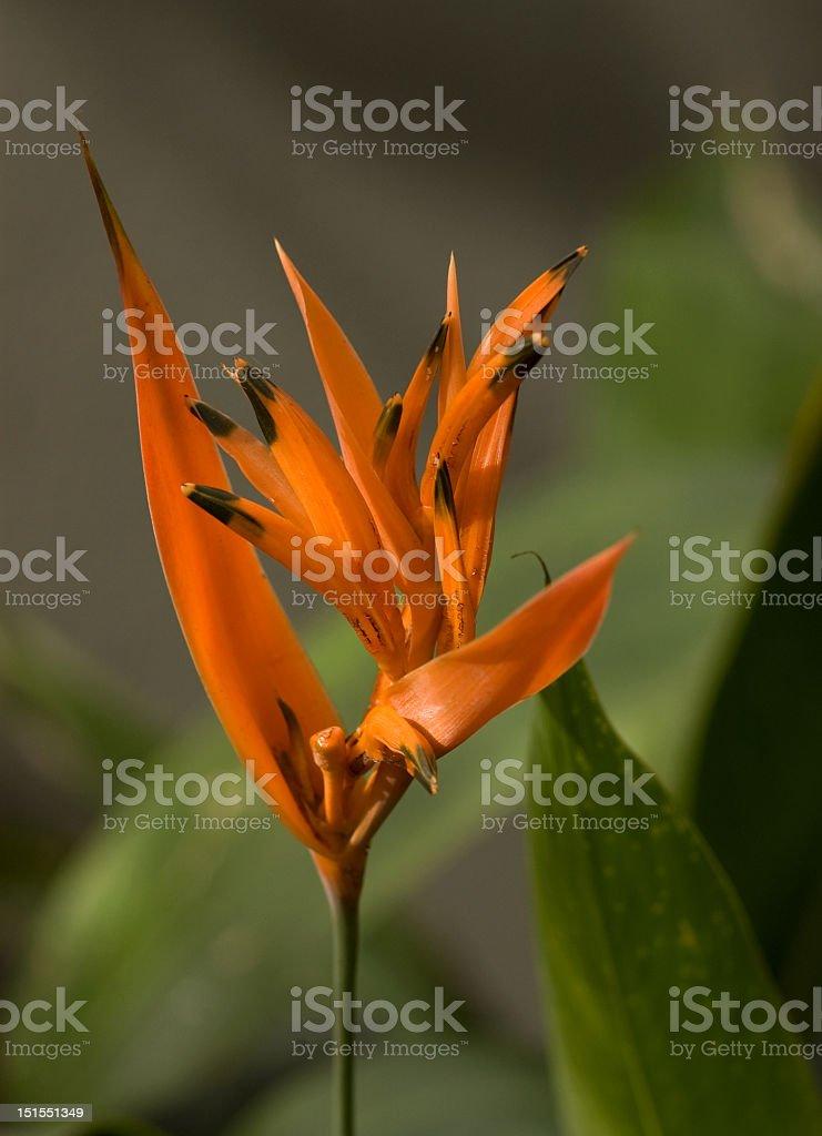 Orange Bird of Paradise royalty-free stock photo