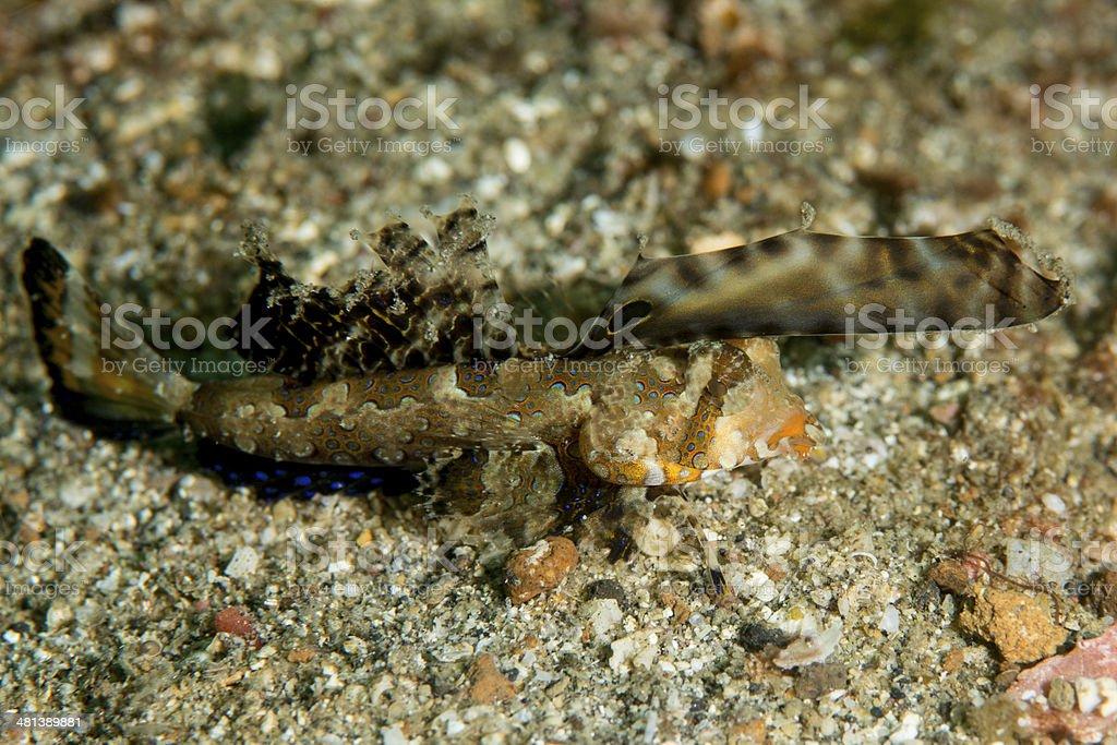 orange & black dragonet - dactylopus kuiteri stock photo