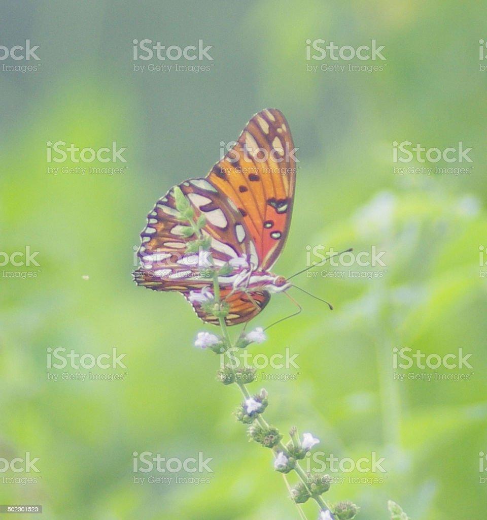 orange, black Gulf Fritillary butterfly drinking flower nectar with proboscis stock photo