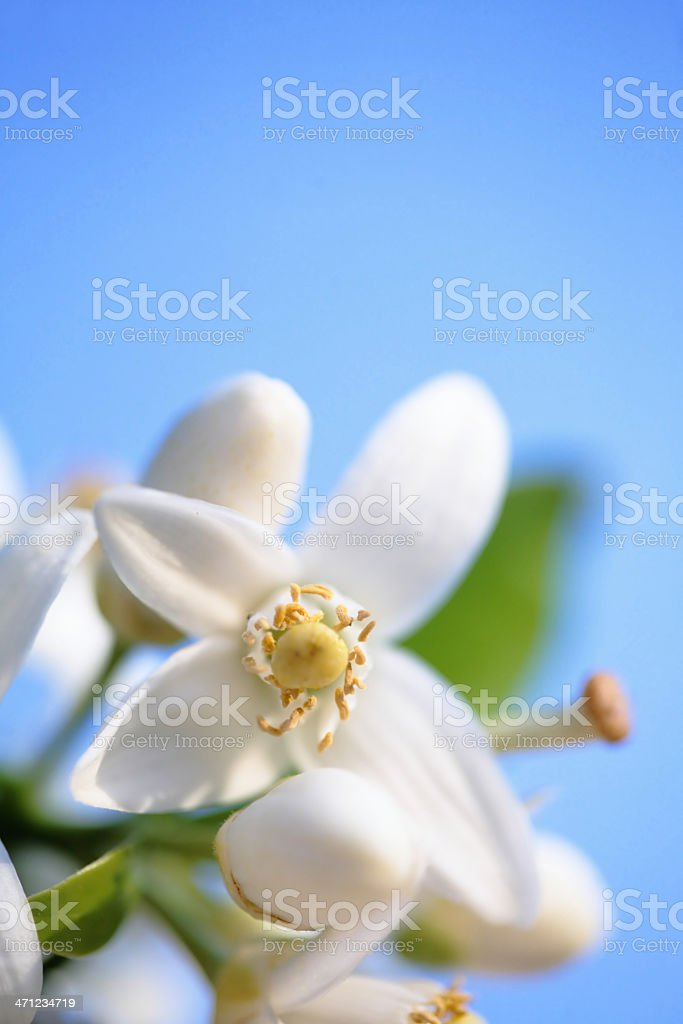 Orange Blossom against a blue sky stock photo