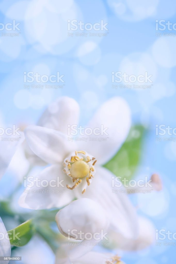 Orange Blossom against a blue sky with bokeh stock photo