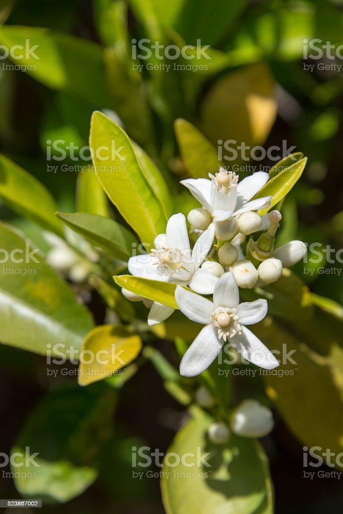 Orange blossom flowers stock photo