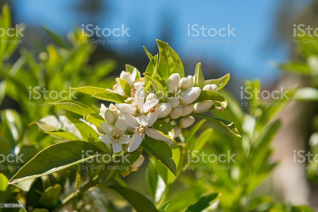 orange blossom on a tree in spring - Citrus aurantium stock photo