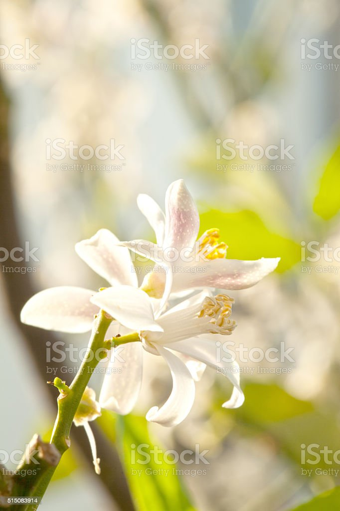 orange blossom stock photo