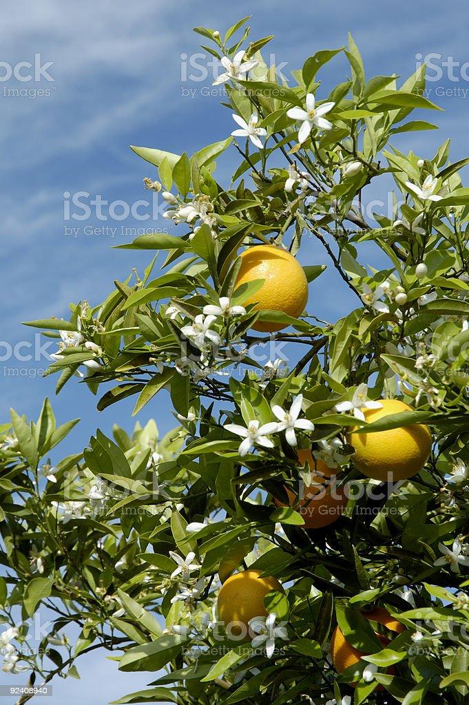 Orange Blossoms 2 royalty-free stock photo