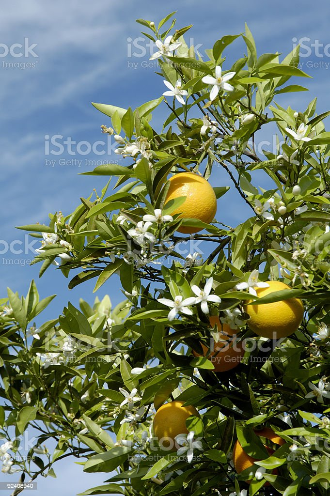 Orange Blossoms 2 stock photo
