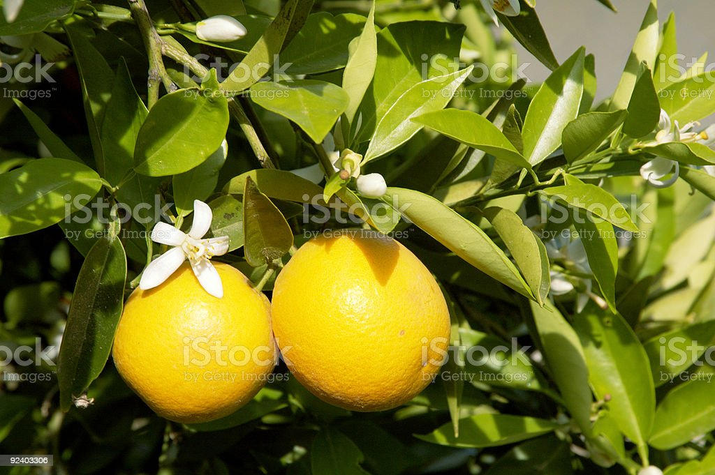 Orange Blossoms 4 royalty-free stock photo