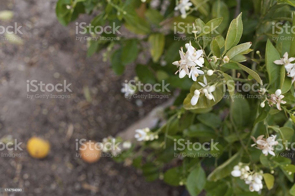Orange Blossoms Close-up stock photo