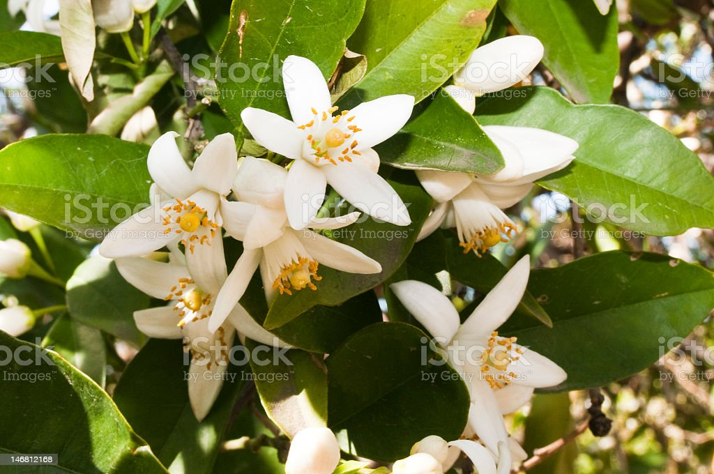 Orange Blossoms in the sunlight stock photo