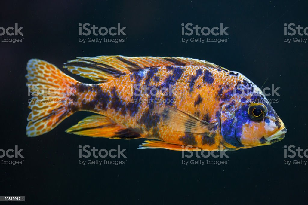 Orange blotch peacock (Aulonocara sp.). stock photo
