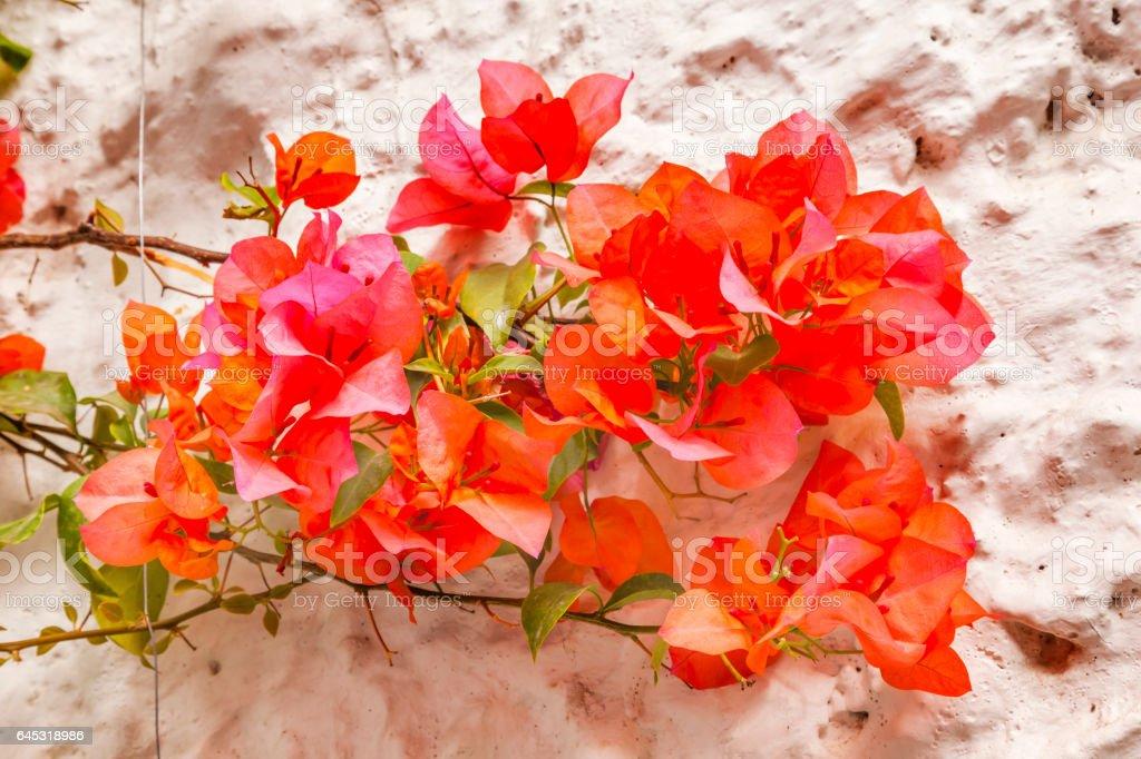 Orange Bougainvillea White Wall San Miguel de Allende Mexico stock photo