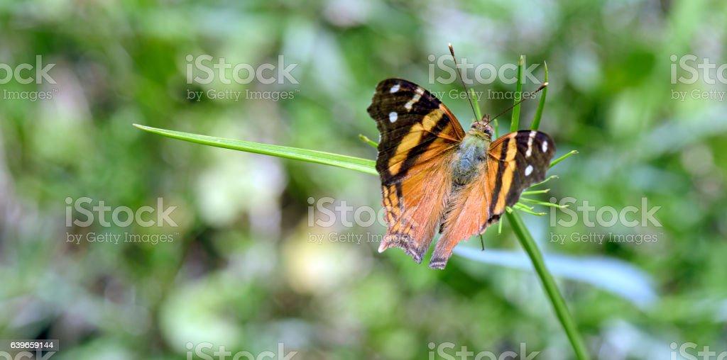 Orange Brazilian butterfly on leaf stock photo