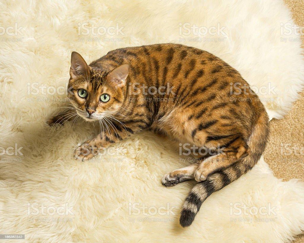 Orange brown bengal cat on wool rug stock photo