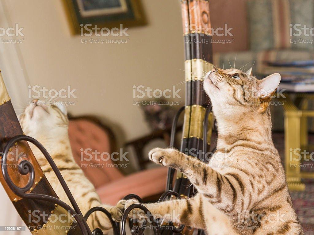 Orange brown bengal cat reflecting in mirror royalty-free stock photo
