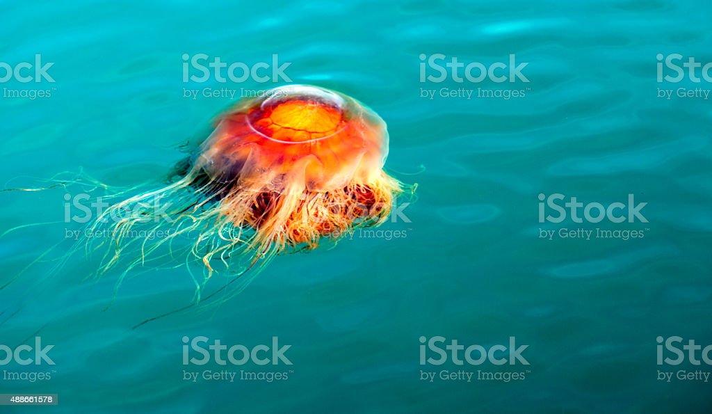 Orange Brown Jellyfish Reserrection Bay Alaska Sea Wildlife stock photo