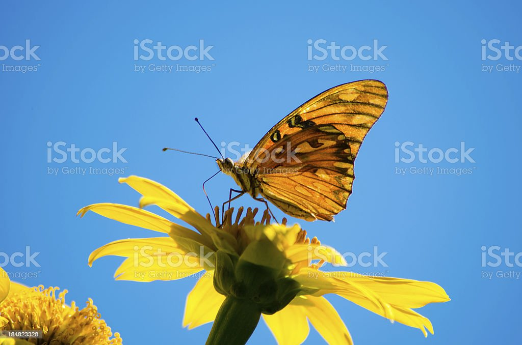 Orange Butterfly feeding off Yellow Flower stock photo