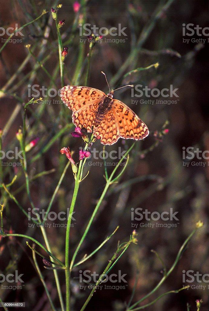 Orange butterfly in  steppe on  flowering bush . Astrakhan ,  Russia. stock photo