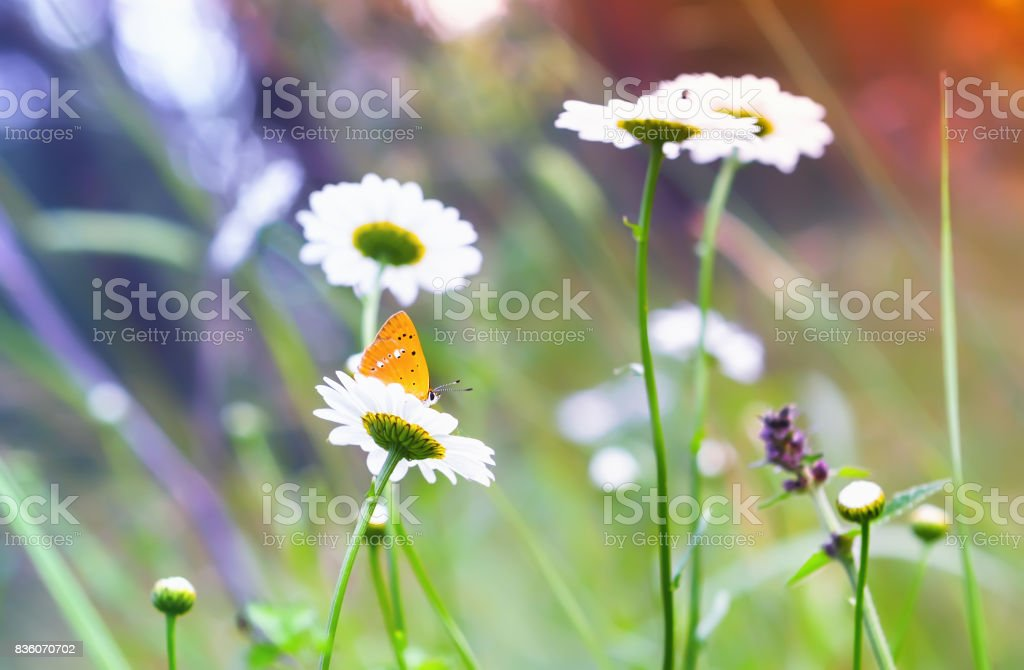 Orange Butterfly On a Daisy stock photo